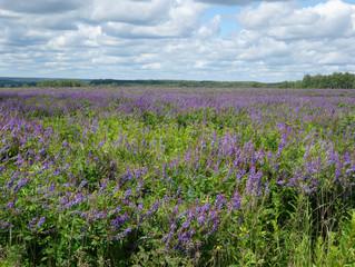 Zelfklevend Fotobehang Lavendel Violet flowers a bird vetch on a meadow, Tula region, Russia