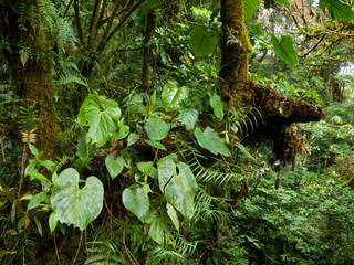 Tropical vegetation in Monteverde Cloud Forest Reserve in Costa Rica