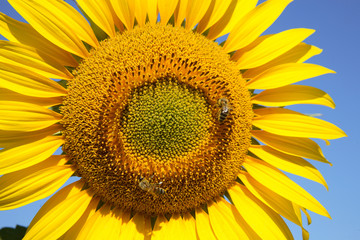 Sunflower closeup with bees