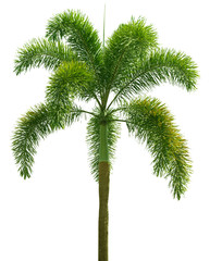 Wodyetia (Foxtail Palm). Palm tree isolated on white