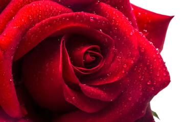 One big ripe red rose close
