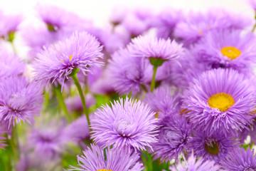 Beautiful violet daisies, close up