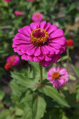 Elegant zinnia pink with yellow center flower close up