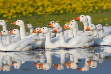 Flock of white domestic geese swimming on the marsh