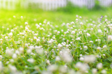 Beautiful white clover flowers in spring and green grass. - Soft