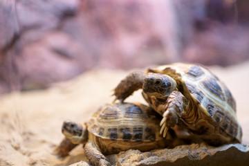 Turtles mating season
