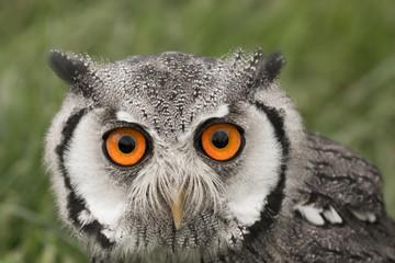 Foto auf Gartenposter Bestsellers Portrait of a white faced scops owl