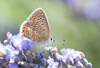 Lunch of a butterfly on lavender in Provence, macro photography