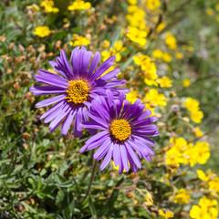 Alpine flower, Aster alpinus, Aosta valley Italy