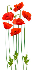 Fototapete - Bunch of poppies. Flower background. Vector.