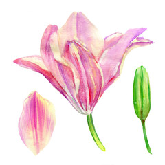 Lily flower, petal, bud watercolor hand drawn botanical illustration isolated on white for design pattern, package cosmetic, greeting card, wedding invitation, florist shop, printing, beauty salon