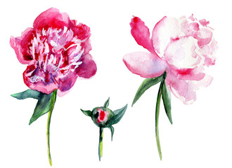 Watercolor pink peony, garden flower isolated on white background, botanical hand drawn illustration for design package cosmetic and pattern, greeting card, wedding invitation, florist shop, printing