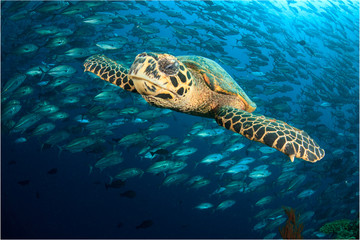 Hawksbill Sea Turtle and school of Jack fish
