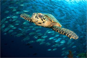 Hawksbill Sea Turtle and school of Jack fish