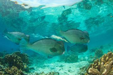 Bumphead Parrotfish fish coral reef