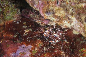 Unterwasser - Riff - Garnele - Putzergarnele - Tauchen - Curacao - Karibik