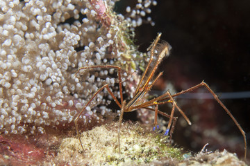 Unterwasser - Riff - Krabbe - Gespensterkrabbe - Tauchen - Curacao - Karibik