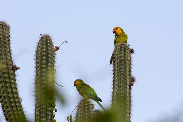 Sittich - Papagei - Kaktus - Natur - Wildlife - Curacao - Karibik