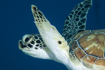 Unterwasser - Riff - Schildkröte - Tauchen - Curacao - Karibik
