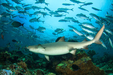 Shark and fish. Pregnant Whitetip Reef Shark