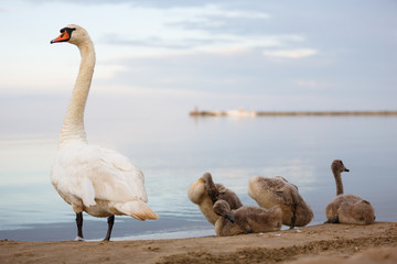 Family of swans on the shore