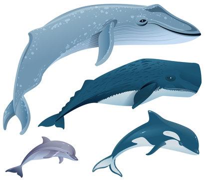 Set marine mammals. Blue whale, sperm whale, dolphin, orca