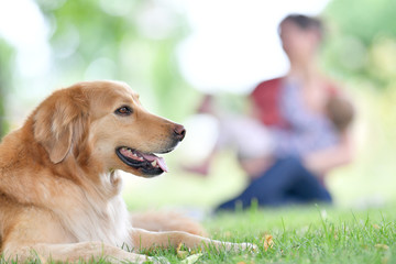 Golden retriever dog in park, people in background