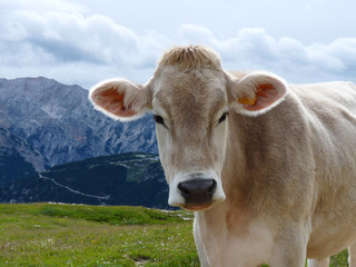 Cow in the Dolomites mountains