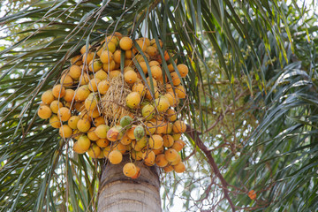Palm kernel on palm tree.