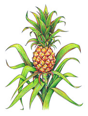 Pineapple with green leaves tropical fruit growing in a farm. Pineapple drawing isolated on a white background. Colour illustration. Handwork