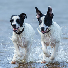 Fototapete - Close up two puppies of watchdog running on water.
