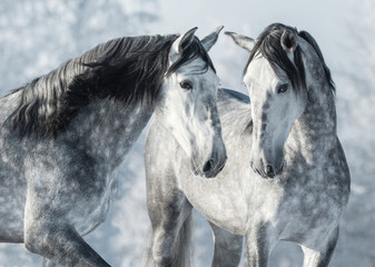 Wall Mural - Portrait of two spanish grey stallions in winter forest.