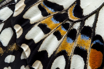 Closeup The Lime Butterfly wing, butterfly wing detail texture background