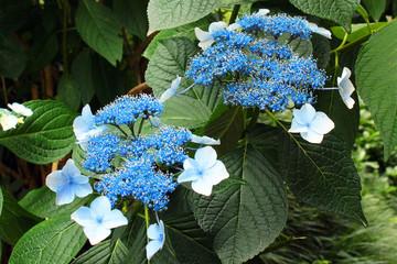 Blue bigleaf hydrangea (Hydrangea macrophylla) flowers