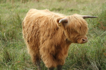 young highland cow in grass field