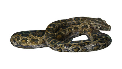3D Rendering Burmese Python on White