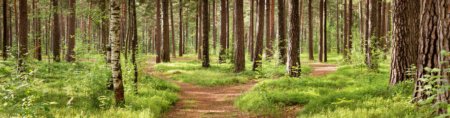 Wall Murals Road in forest pine forest panorama in summer. Pathway in the park
