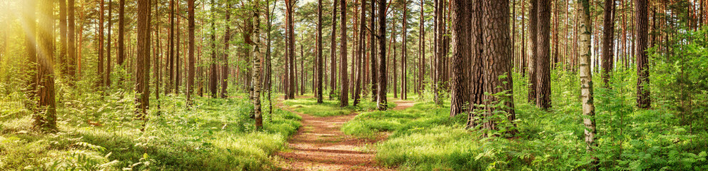 Fototapeten Straße im Wald pine forest panorama in summer. Pathway in the park