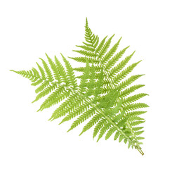 Fern isolated on white. without shadow