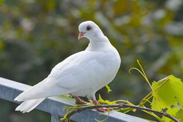 white pigeon in the garden