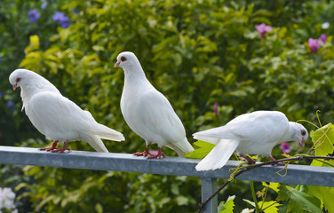 white pigeons in the garden