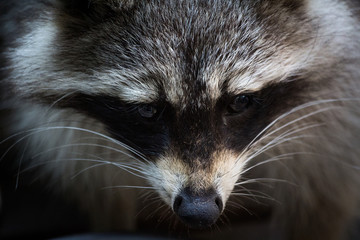 closeup of a raccoon
