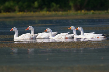 Row of white domestic geese swimming on the  pond