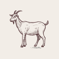 Illustration farm animals - goat