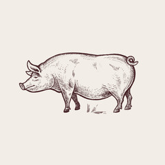 Illustration farm animals - pig