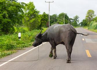 Black buffalo on the road.