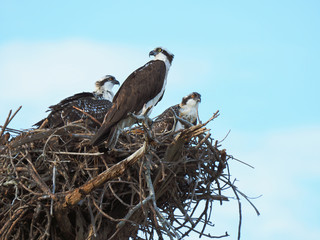 Momma Osprey Watches Over Her Two Nest Bound Chick