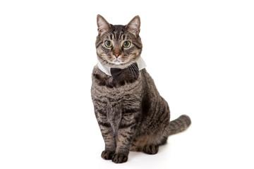 Cat Wearing Bowtie