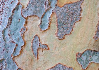 Tree bark - Bark of Chinese Elm (Ulmus parvifolia)