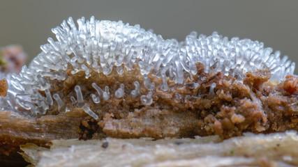 Das Plasmodium eines durchsichtigen  Schleimpilzes bildet Fruchtkörper aus.
